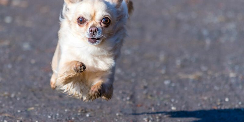 A Small Healthy Dog Running